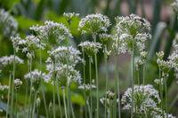 Schnittknoblauch (Allium tuberosum)