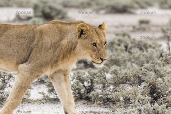 Löwe, lion