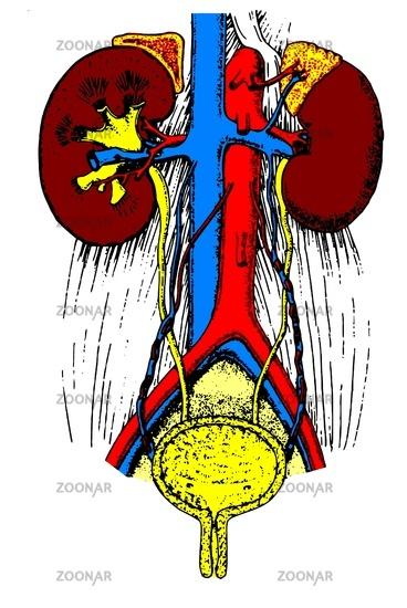 Foto Anatomie die Niere Bild #2249531