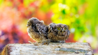 Little owl sitting on a piece of wood