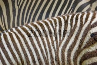 Schwarzweisses Zebrafell