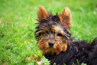 Yorkshire Terrier Toby