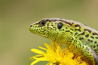 portrait of sand lizard standing on yellow dandelion ( Lacerta agilis