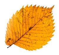 yellow fallen leaf of elm tree isolated