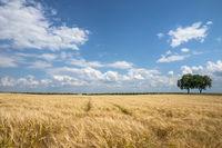 Walnussbäume (Juglans regia), Getreidefeld und Wolkenhimmel