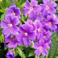 Cranesbill; Summer flower; purple
