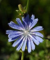 Wegwarte; Cichorium; intybus; Ackerpflanze