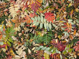 Herbstlaub der Eberesche