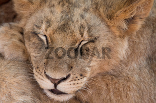 Lion cub sleeping