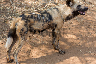 Wild dog Kruger National Park