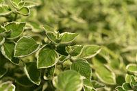 Jamaika Thymian weißbunt Plectranthus amboinicus variegatus