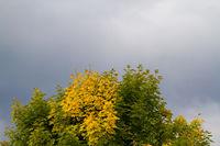 leichte Laubfärbung Ahorn im Herbst