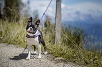 Boston Terrier in the Austrian Alps
