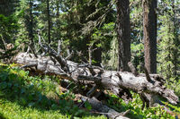 Old dry broken trees lay in coniferous forest. Altai Krai.