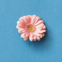 One pink gerbera flower isolated on blue with copy space