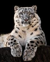 Snow Leopard XXX