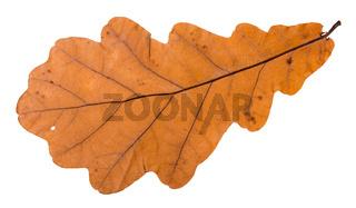 autumn leaf of oak tree isolated on white