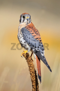 American kestrel sitting on a mullein