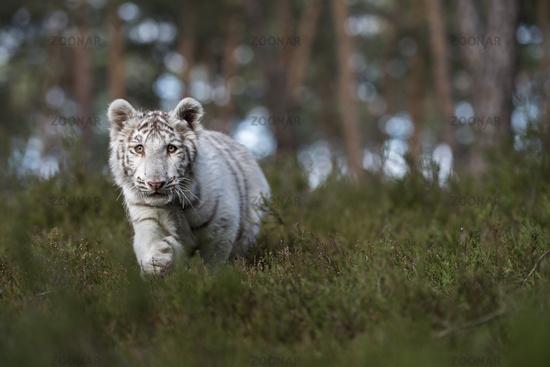 Neugierde... Königstiger *Panthera tigris*