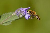 Mauerbiene an einer Katzenminze