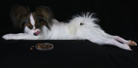 Beautiful young male dog Continental Toy Spaniel Papillon lickens at the sight of dry food on black background