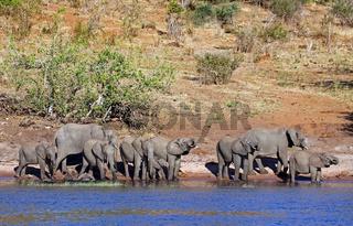 Trinkende afrikanische Elefanten (Loxodonta africana) am Ufer des Chobe, Botswana