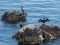 Drei Kormorane sitzen auf Felsen im Adriatischen Meer vor Kroatien
