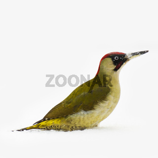 Grünspecht (Picus viridis) / green woodpecker  (Picus viridis)