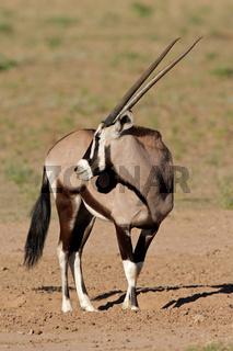 Gemsbok antelope