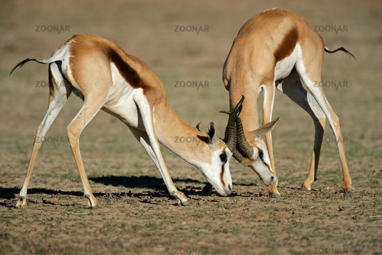 Fighting Springbok