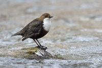 bemerkenswerter Vogel... Wasseramsel *Cinclus cinclus* auf typischem Ansitz