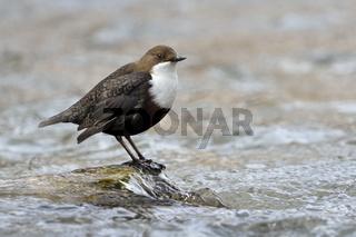 bemerkenswerter Vogel... Wasseramsel * Cinclus cinclus * auf typischem Ansitz