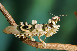 Afrikanische Bluetenmantis, Pseudocreobotra wahlbergi, Spiny flower mantis