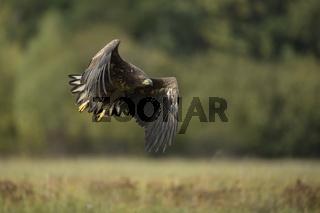 Kraft... Seeadler *Haliaeetus albicilla*