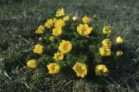 Fruehlings-Adonisroeschen (Adonis vernalis)