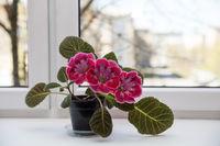 Gloxinia on the windowsill