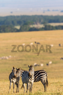 Flock of zebras standing on the savannah