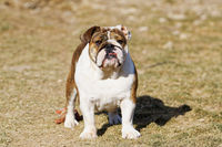 Portrait of the english bulldog in outdoor