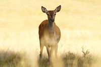red deer hind closeup over out of focus background