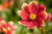 Einfach blühende Dahlie (Dahlia), Sorte Karneol