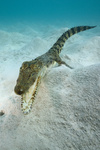 Salzwasser-Krokodil, Crocodylus porosus, Palau, Saltwater Crocodile
