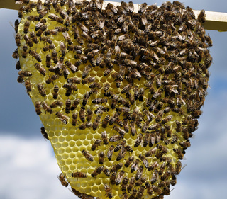 Wabe  in Naturbau mit Bienen - Natural comb with bees