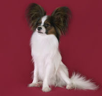Beautiful young male dog Continental Toy Spaniel Papillon on red background