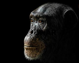 Chimpanzee XXIV