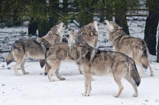 Europaeische Woelfe, Canis lupus, heulen in der Ranz im Rudel