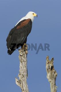 Schreiseeadler, (Haliaeetus vocifer), African Fish Eagle