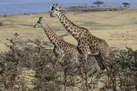 two giraffes standing among the low bushes on the slope of acacia Ngorongoro Crater