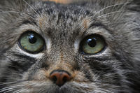 Extreme close up portrait of manul cat