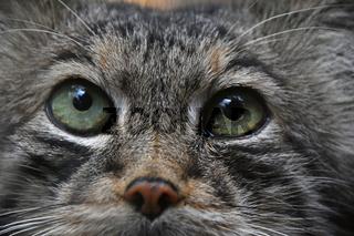 Extreme close up portrait of manul cat