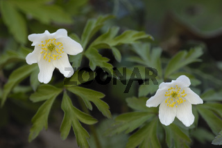 Buschwindroeschen (Anemone nemorosa)